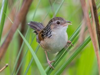 - Indian Grassbird