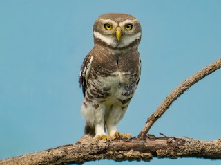 - Forest Owlet