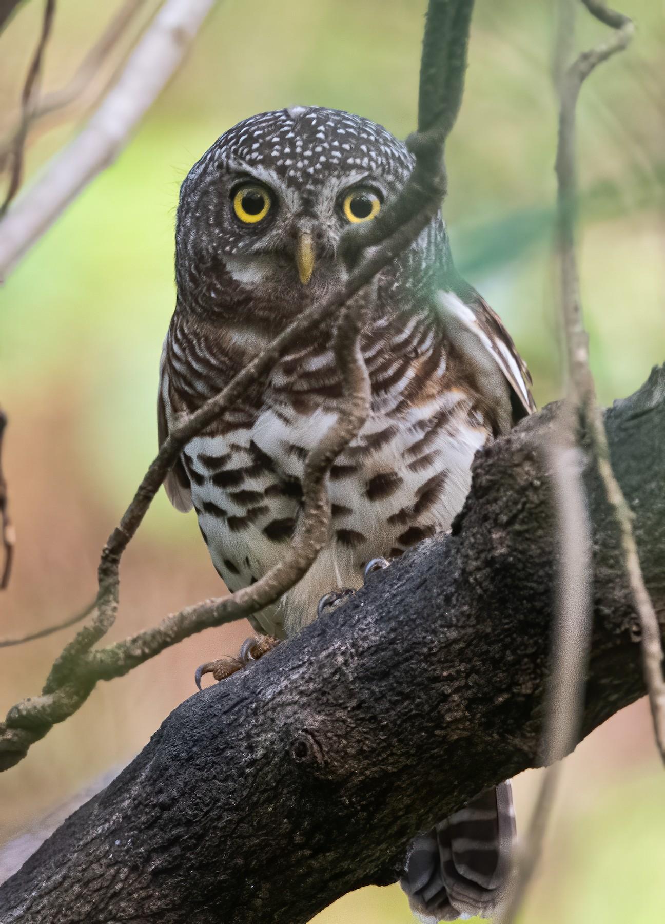 Chestnut Owlet - John Sterling