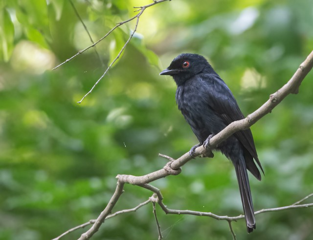 Western Square-tailed Drongo