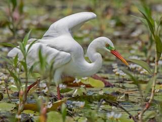 - Intermediate Egret