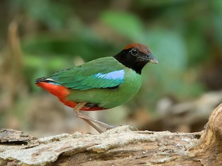 - Hooded Pitta (Chestnut-crowned)