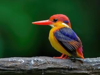 - Black-backed Dwarf-Kingfisher