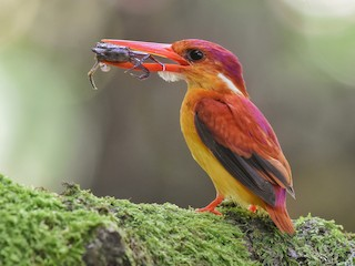 - Rufous-backed Dwarf-Kingfisher