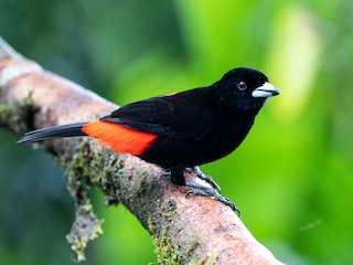 - Scarlet-rumped Tanager