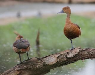 Lesser Whistling-Duck, ML313982291