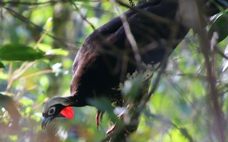 Black-fronted Piping-Guan, ML314073341