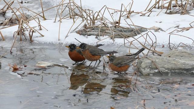 American Robin (migratorius Group)