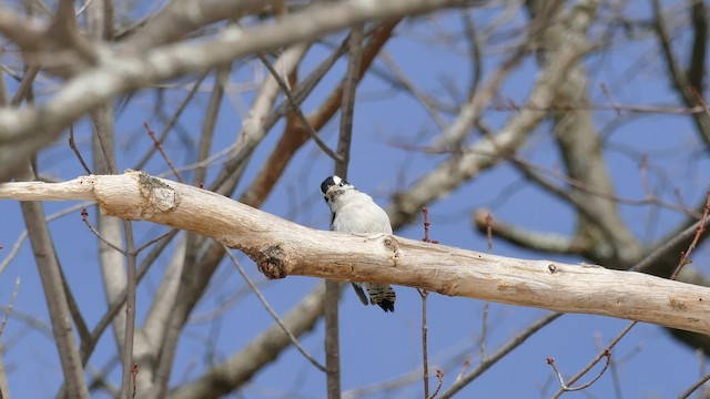 Downy Woodpecker (Eastern)