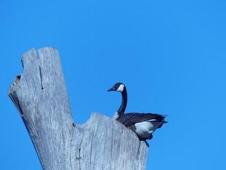 Canada Goose, ML314086751