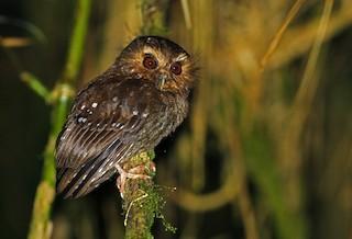 - Long-whiskered Owlet