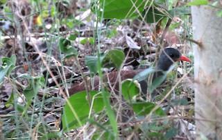 Tataupa Tinamou, ML31459791