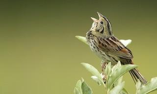 - Henslow's Sparrow