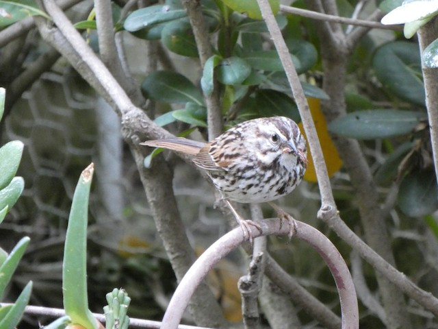 Song Sparrow (heermanni Group)
