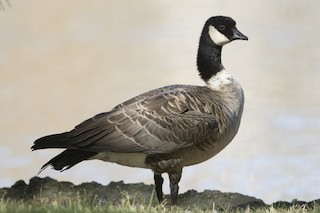 Cackling Goose, ML31490111