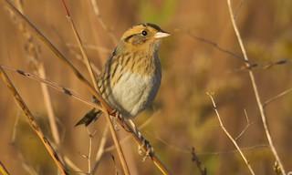 - Nelson's Sparrow