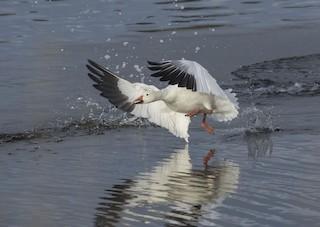 Snow Goose, ML315043211