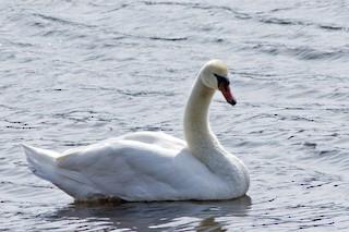 Mute Swan, ML315145871
