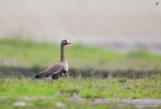 Greater White-fronted Goose, ML315274301