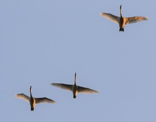 Tundra Swan, ML315284501