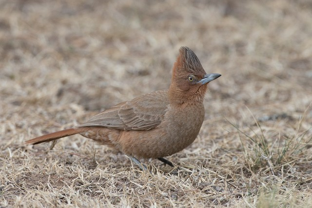 Brown Cacholote