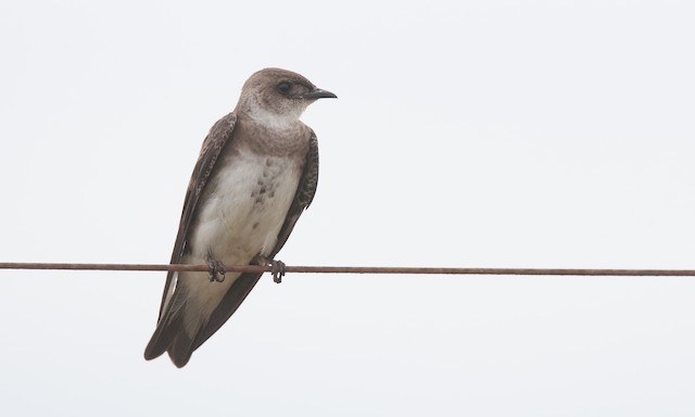 Brown-chested Martin (fusca)