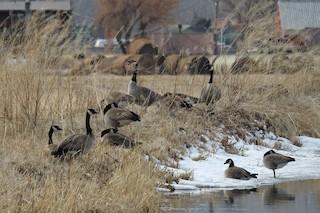 Cackling Goose, ML315365631