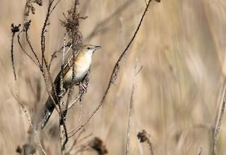 - Fan-tailed Grassbird