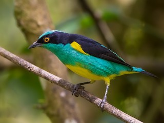 - Black-faced Dacnis (Yellow-tufted)