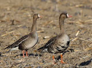 Greater White-fronted Goose, ML315722931