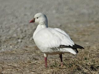 Ross's Goose, ML315790641