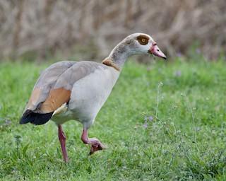 Egyptian Goose, ML316108601