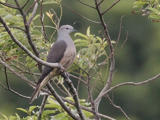 - Peale's Imperial-Pigeon