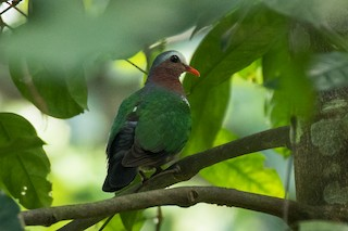 Asian Emerald Dove, ML316186271