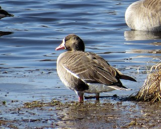 Greater White-fronted Goose, ML316283821