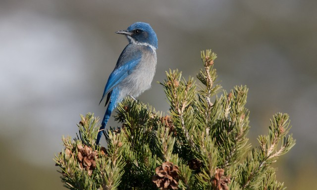 Woodhouse's Scrub-Jay (Woodhouse's)