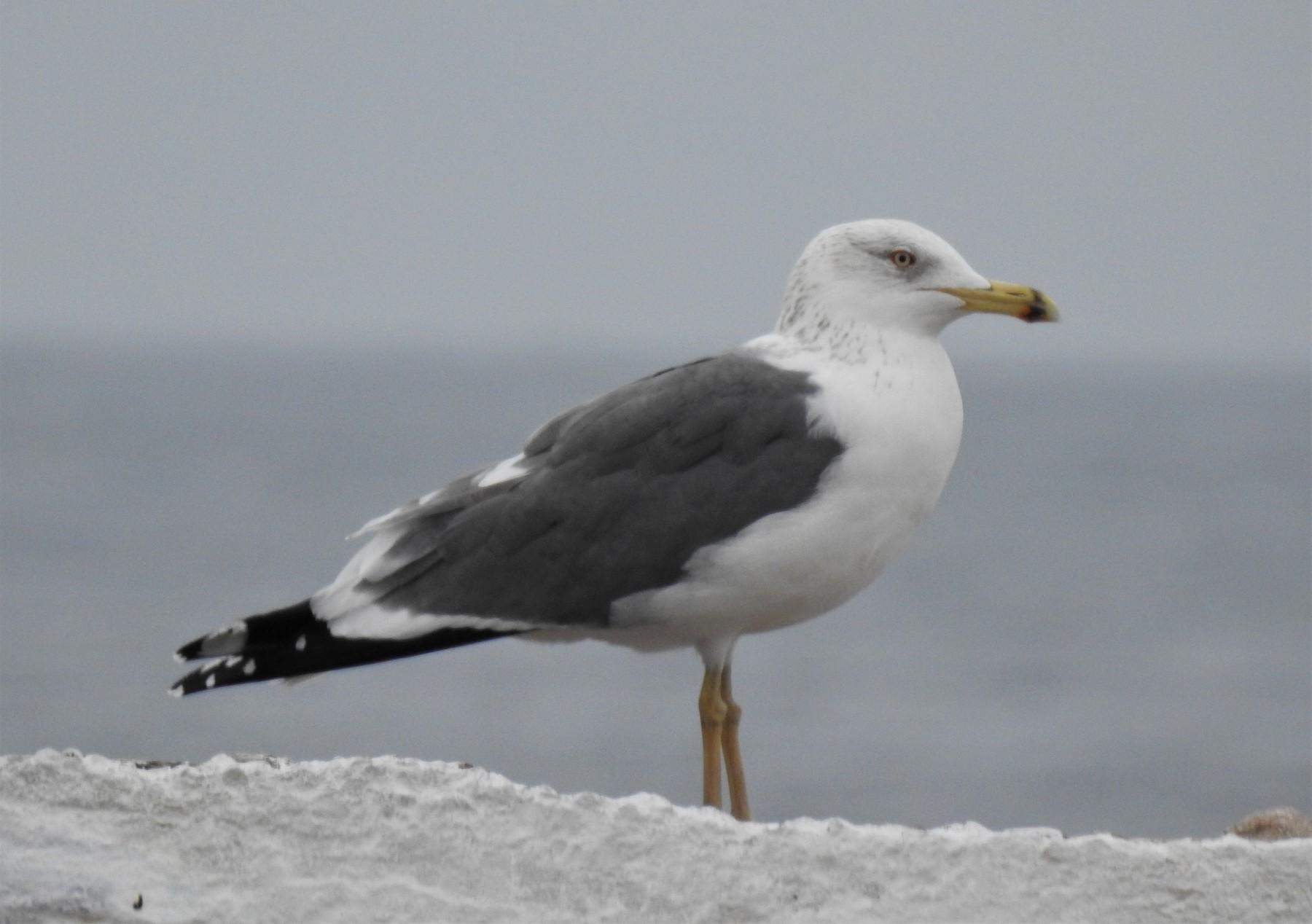 Lesser Black-backed Gull (Heuglin's) - Aris Vouros