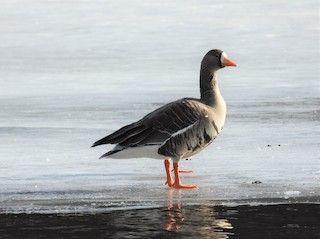 Greater White-fronted Goose, ML316567031