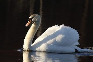 Mute Swan, ML316705511