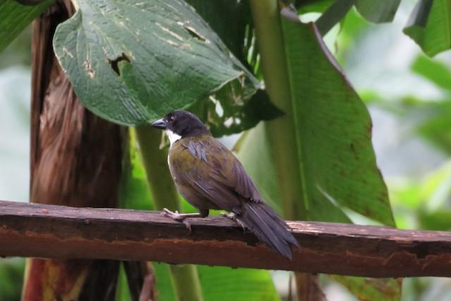 Black-headed Brushfinch