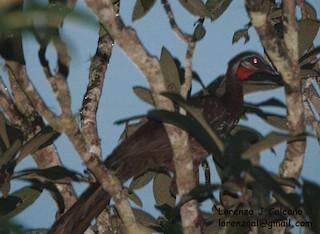 Band-tailed Guan, ML316850151
