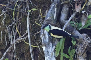 - Green-throated Tanager