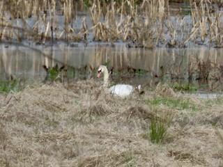 Mute Swan, ML316911041