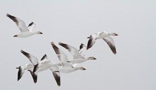 Snow Goose, ML31693361