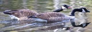 Canada Goose, ML317105951