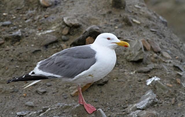 Herring Gull (Vega)