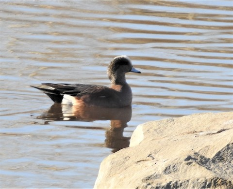 Calgary North Glenmore Park Calgary County Ab Ca Ebird Hotspot