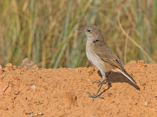 - Sickle-winged Chat