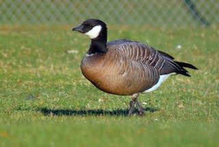 Cackling Goose, ML317384121