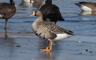 Greater White-fronted Goose, ML317455761